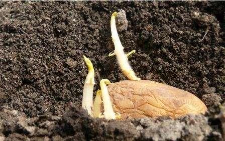 Пророщування картоплі перед висадкою