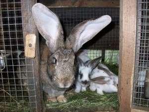 тримання кролів в клітці