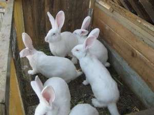 розмноження кролів