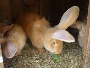 Годування кролів