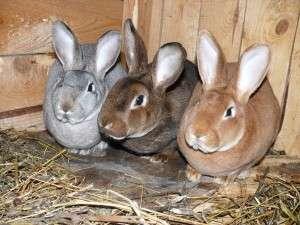 Розведення кролів фото