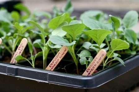 Основні способи вирощування розсади в домашніх умовах