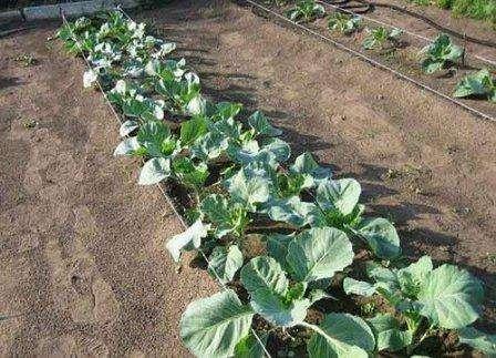 Висаджування розсади капусти в постійний грунт