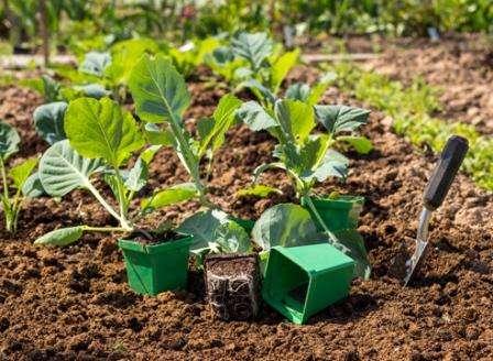 Як виростити розсаду капусти самостійно