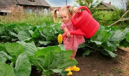Технологія вирощування розсади капусти в домашніх умовах