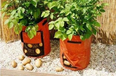Вирощування картоплі в мішках - як вироститити бульби відео