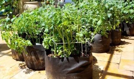Вирощування картоплі в мішках