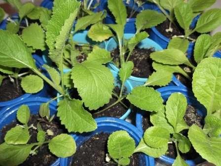Висадка розсади пекінської капусти