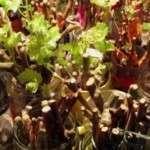 Як виростити живці винограду в домашніх умовах
