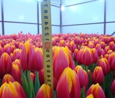 Високі тюльпани: фото