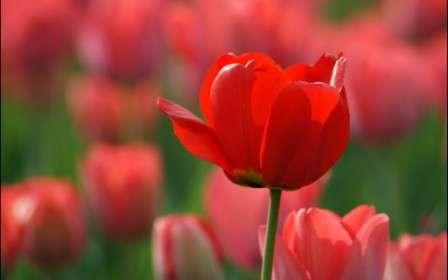 червоний тюльпан