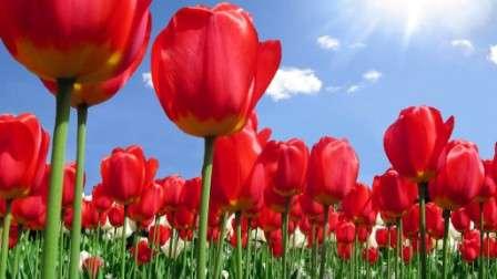 червоні тюльпани