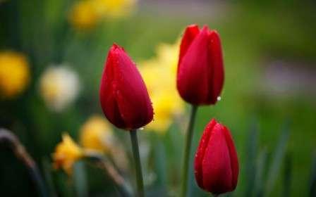 Червоні тюльпани: фото