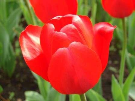 фото червоних тюльпанів