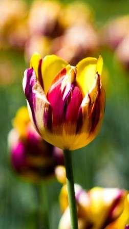 Фото тюльпанів