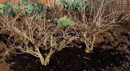 Вирощування та догляд за агрусом
