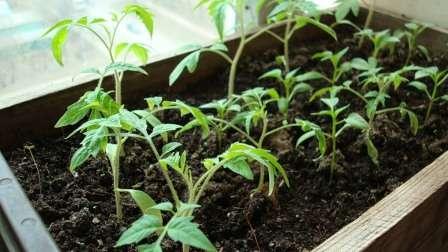 Вирощування перцю у відкритому грунті