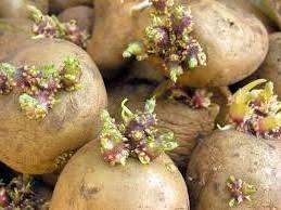 Голландська технологія вирощування картоплі: поетапне виконання