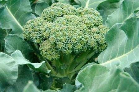як виростити капусту броколлі