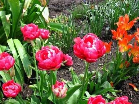 червоні тюльпани фото