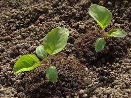 Фахівці рекомендують садити баклажан за допомогою розсади