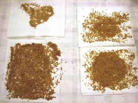 Насіння баклажанів, фото