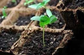 Коли садити насіння баклажанів на розсаду в 2019 році