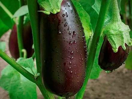 поради про те коли садити баклажани на розсаду в 2016 році допоможуть виростити Вам багатий урожай.