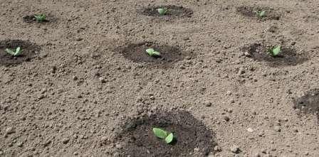 Вирощування кабачків в домашніх умовах через розсаду та у відкритий грунт