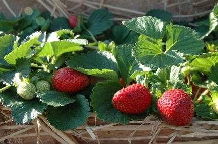 Як садити полуницю на городі