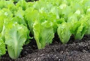 Вирощування листя салату в домашніх умовах на городі та в теплиці