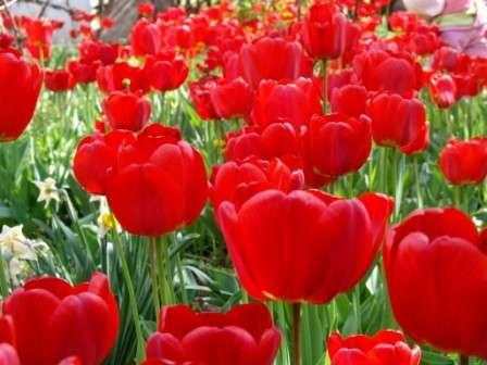 красні тюльпани фото