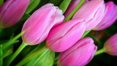 рожевий тюльпан фото