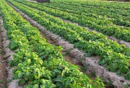 Інтенсивна технологія вирощування картоплі