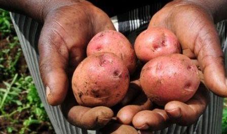Посадка картоплі за голландською технологією. Відео вирощування
