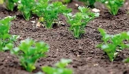 Підготовка насіння моркви