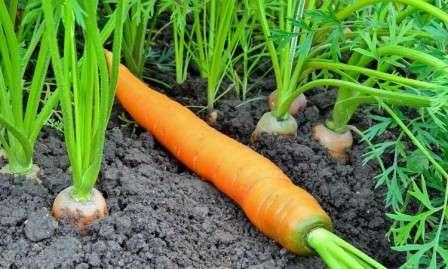 Правила догляду за морквою