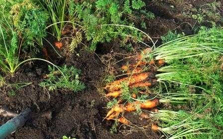 Як правильно садити моркву навесні