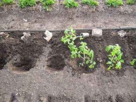 Посадка помідор у відкритий грунт - Як садити помідори