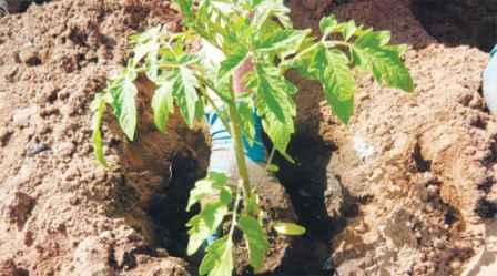 Посадка помідорів у відкритий грунт