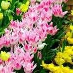 Посадка тюльпанів навесні в грунт