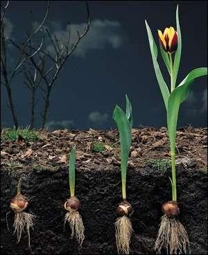 посадку тюльпанів можна проводити ранньою весною