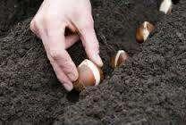 Коли садити тюльпани весною в грунт