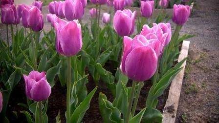 Посадка тюльпанів навесні: у чому переваги?