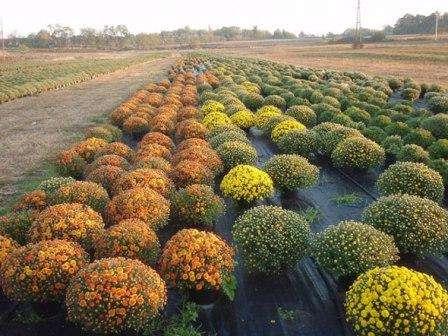 Посадка хризантем