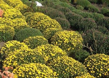 Догляд за хризантемами