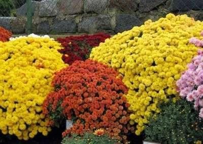 як вирощувати хризантеми фото