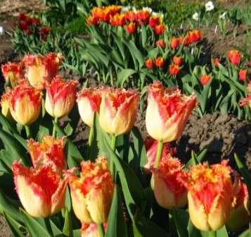 кучеряві тюльпани фото