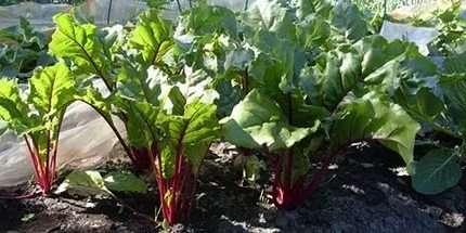 Як вирощувати буряк в домашніх умовах на городі