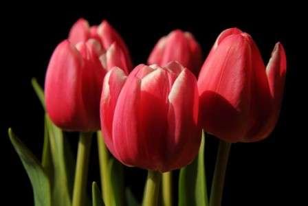 тюльпани на 8 березня